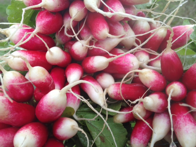 French breakfast radishes, petite and beautiful, ready for spring markets.