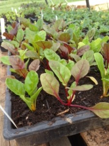 Here's what baby chard looks like while it's living in the greenhouse, waiting to be transplanted out to the field.