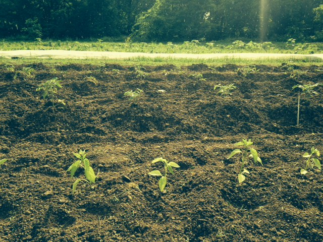 Freshly transplanted peppers and tomatoes