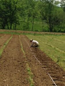 squash transplanting