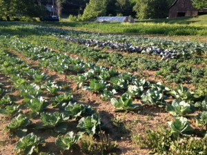 ​The brassica patch - full of cabbages, kale, collards, broccoli, cauliflower and more.  Some will get eaten by humans, some will get eaten by insects.