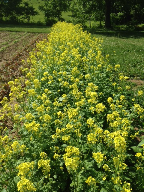 The mustard patch in full bloom in May