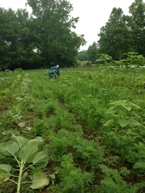 Chris pulling weeds in the carrot patch in June.  The tall plants are volunteer sunflowers.  We have left them in the garden to attract beneficial pollinators.  Their long tap roots also help bring minerals and nutrients from deep in the soil to the surface.