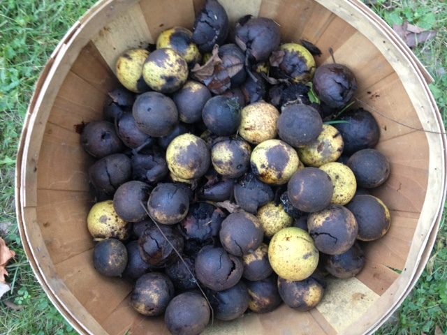 A bushel of walnuts I scavenged from the edges of the garden.