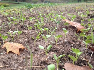 ​Sprouting baby cover crop plants, plant debris, and fall leaves - all will feed the soil!