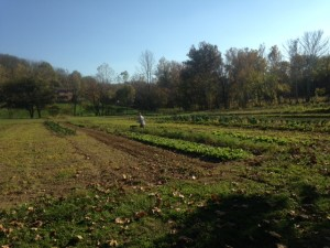 Chris picking carrots.  The bright yellow-green patches to his left and right are our baby cover crops getting established and covering bare soil in the garden.